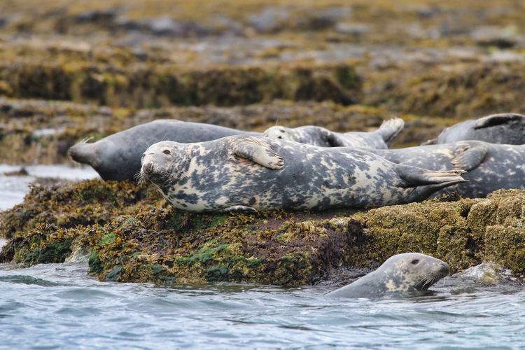 Grey Seal in the Farne Islands Animal Themes Animal Wildlife Animals In The Wild Aquatic Mammal Close-up Day Mammal Nature No People One Animal Outdoors Water