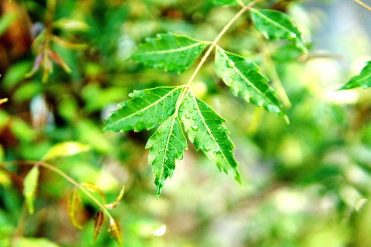Leaf Marijuana - Herbal Cannabis Close-up Plant Green Color Cannabis Plant Plant Life Medical Cannabis Botany Stem Stamen Bud Blooming