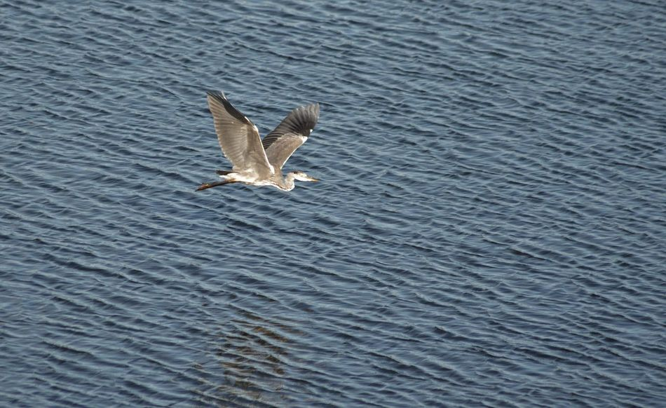 Herons on the Plym estuary in the Autum sunshine Capture The Moment Serenity Feather  Fishing Flap Flying Heron In Flight Lake Mid-air Ocean River Sea Soaring Spread Wings Wading Water Water Bird
