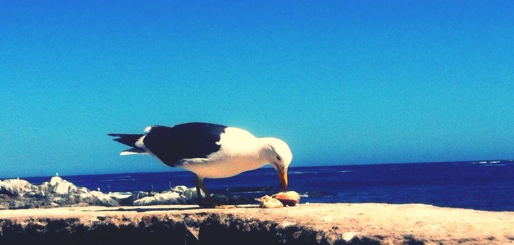 Gaviota cenando? Taking Photos EyeEm Zapallar Birds