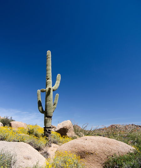 Low Angle View Of Saguaro Cactus Against Clear Blue Sky