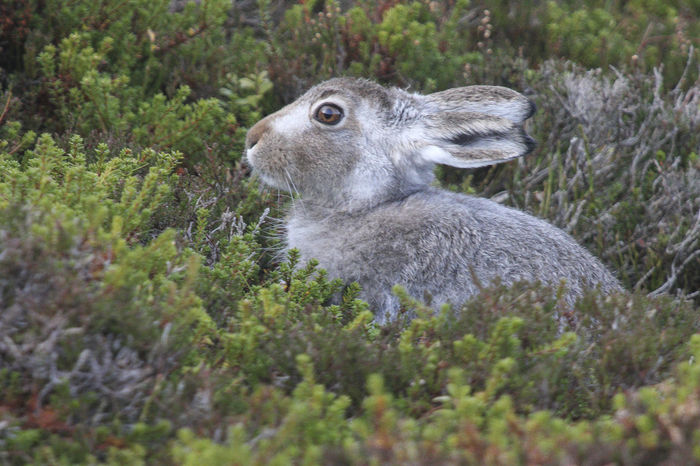 Mountain Hare starting to moult into its winter coat Artic Hare EyeEmNewHere Mountain Hares Nature Nature Photography EyeEm Best Shots Wildlife & Nature Wildlife Photography Animal Themes Animal Wildlife Animals In The Wild Close-up Day Field Grass Mammal Nature No People One Animal Outdoors Wildlife