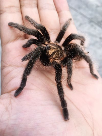 Cropped Hand Of Person Holding Tarantula