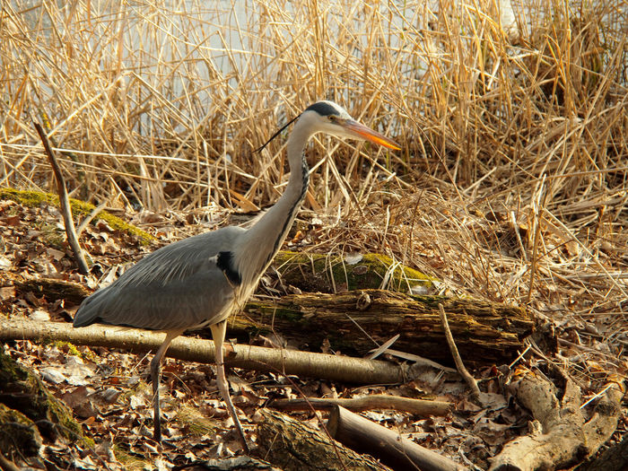 High angle view of gray heron perching on field