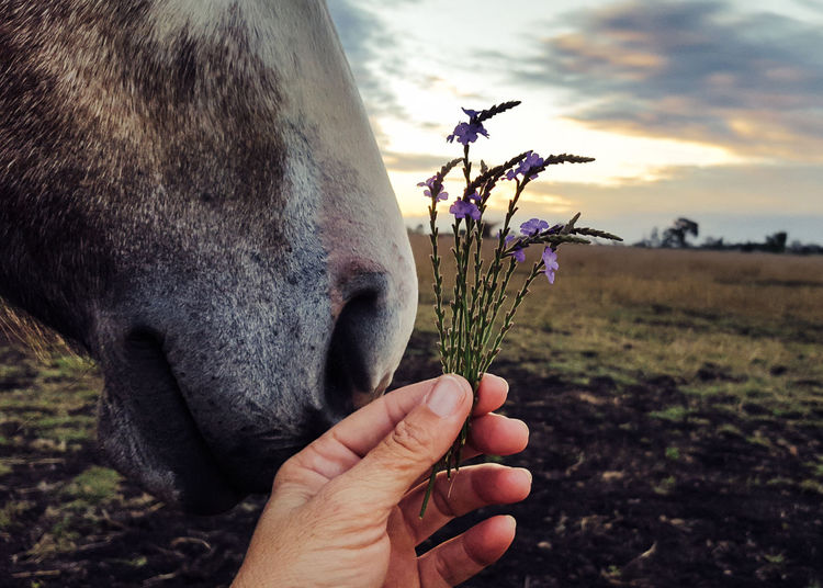 Cropped hand of person holding plants by horse nose on field