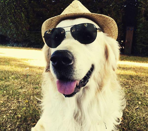 Dog Goldenretriever Domestic Animals Portrait Sunglasses Outdoors Pets
