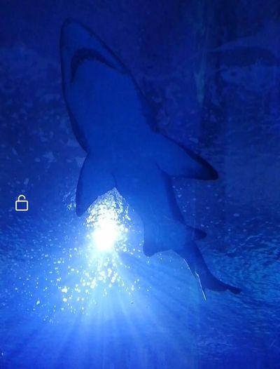 Shark,