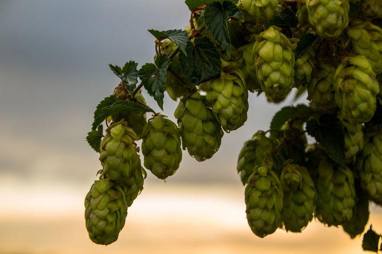 Hop Umbels Hop Umbels Beer Evening Tree Branch Leaf Sky Close-up Plant Green Color Plant Part
