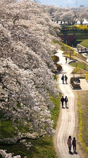 Sakura Sakura Trees Backlighting Beauty In Nature Couples Curvy Road Day Full Bloom Group Of People High Angle View Leisure Activity Men Outdoors People Plant Real People Sakura Blossom Spring Travel Destinations Walking Women
