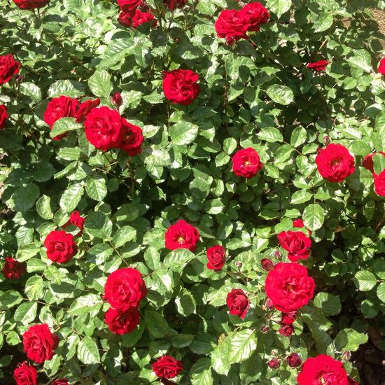 Roses Rose🌹 Flowers Flower Rose♥ Red Rose 🌹 Red Rose