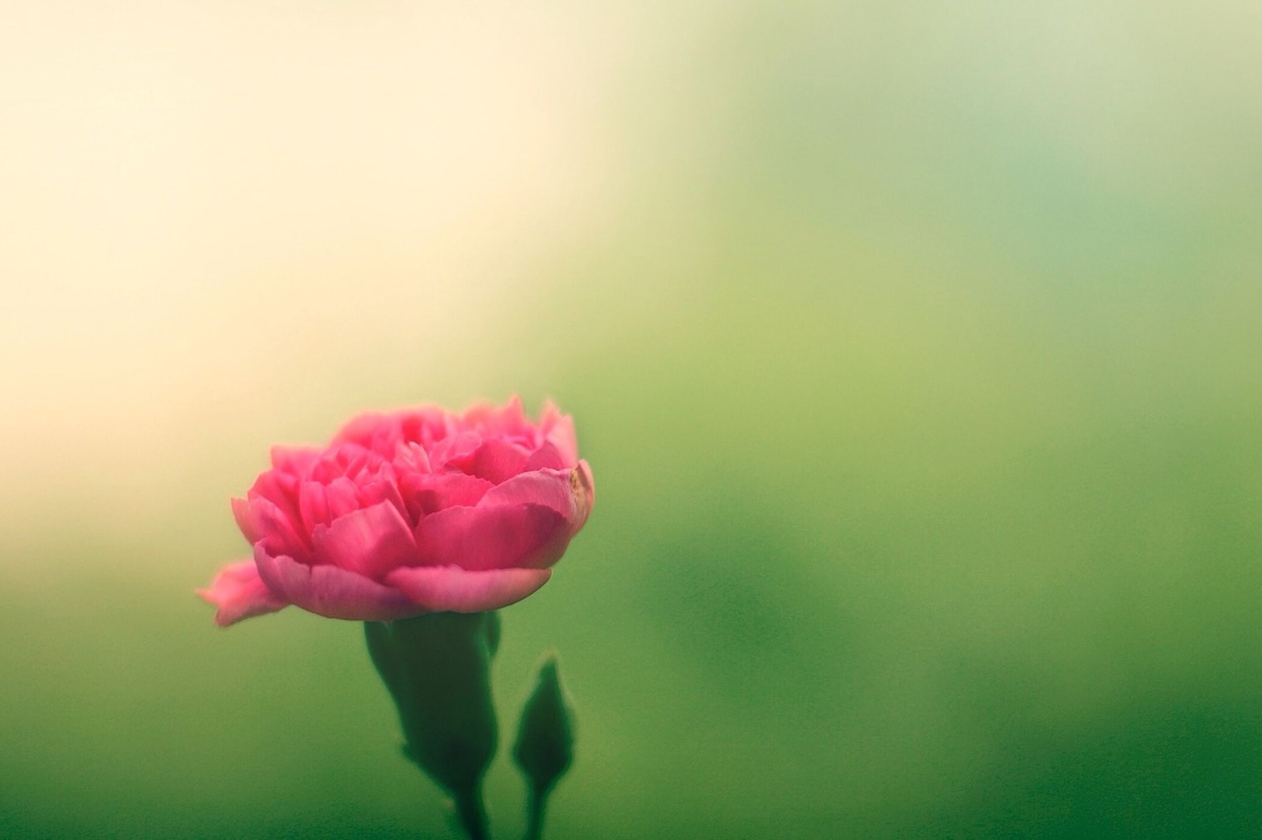 flower, petal, freshness, fragility, flower head, beauty in nature, growth, pink color, close-up, focus on foreground, nature, blooming, plant, stem, in bloom, rose - flower, single flower, blossom, bud, selective focus