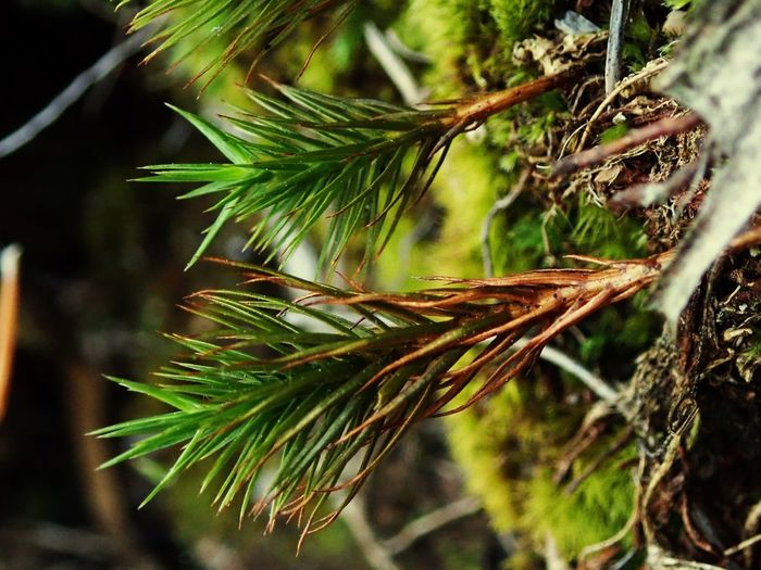 Plant Growth Tree Nature Close-up Green Color Day Beauty In Nature Plant Part Focus On Foreground Coniferous Tree Selective Focus Outdoors