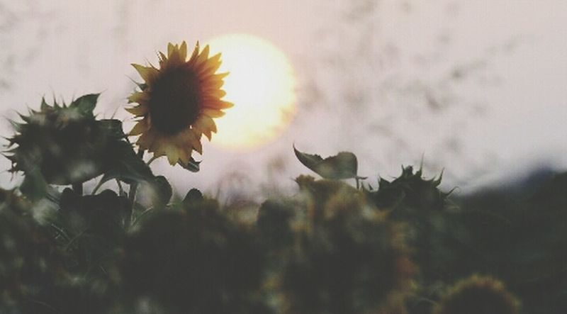 ❤ Enjoying Life Boanoite Girassol Love