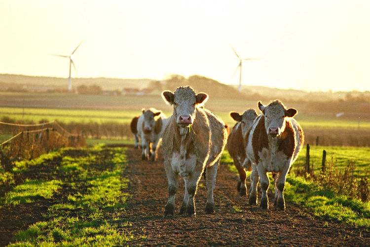 Agriculture Animal Animal Themes Cattle Cow Domestic Domestic Animals Domestic Cattle Environment Field Group Of Animals Herbivorous Land Landscape Livestock Mammal Nature No People Outdoors Pets Sky Vertebrate