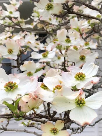 Blossom White Color Petal Springtime Beauty In Nature Flower Fragility Close-up Tree Nature