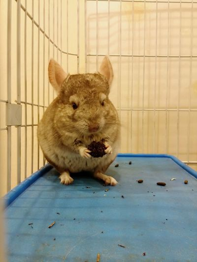 By Lg G3 Chinchilla Im Eating This! Dont Disturb Pet Photography  Pet Lover Animallovers Cute Animal