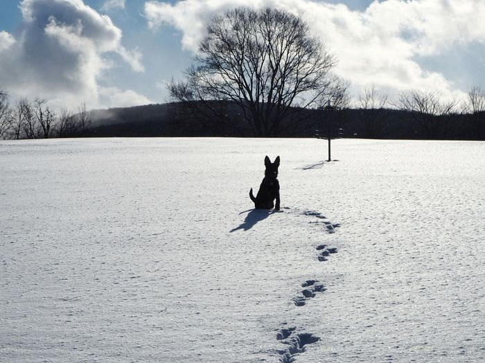 a lone wolf Upstate New York My Pet German Shepherd German Shepherds Winter Cold Temperature Bare Tree Dog Cloud - Sky Outdoors Day Silhouette Nature Pets Animal Themes