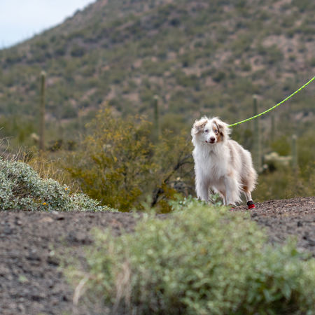 Mammal Animal Themes One Animal Animal Domestic Pets Domestic Animals Plant Dog Canine Nature No People Day Vertebrate Selective Focus Mountain Land Animals In The Wild Outdoors Looking Small Australian Shepherd
