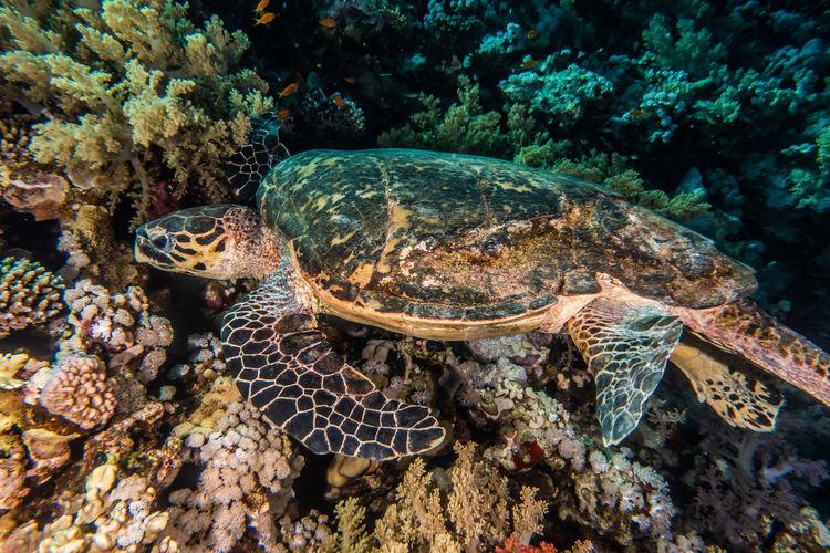 Hawksbill sea turtle in the red sea, dahab, blue lagoon sinai - a.e