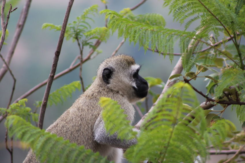 Animal Head  Animal Themes Animals In The Wild Beauty In Nature Blurred Background Branch Day Fern Leaves Focus On Foreground Green Color Growth Monkey Monkey In Wild Nature One Animal Outdoors Selective Focus Tree Tree Trunk Velvet Monkey Vervet Monkey Wild Monkey Wildlife Zoology