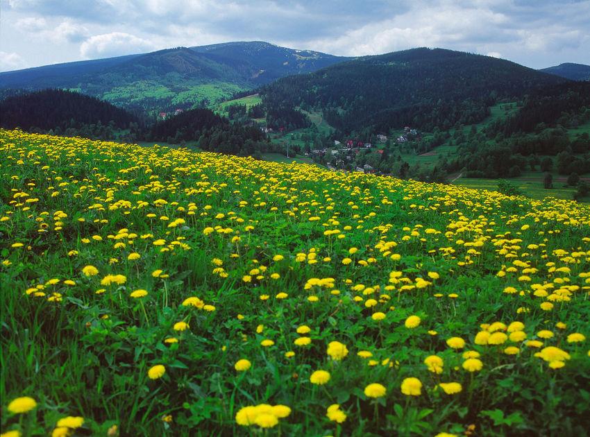 Beauty In Nature Beskid Zywiecki Beskidy Field Flower Korbielów Korbielów Landscape Mountain Mountain Range Nature Poland Polen Yellow
