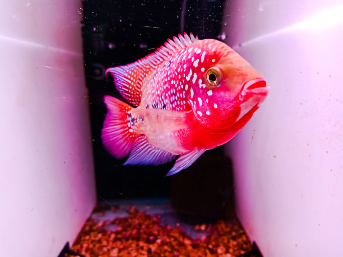 Aquaria Red