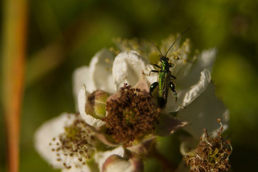 Beetle Close-up Countryside Insect Macro Nature Outdoors Selective Focus Summer