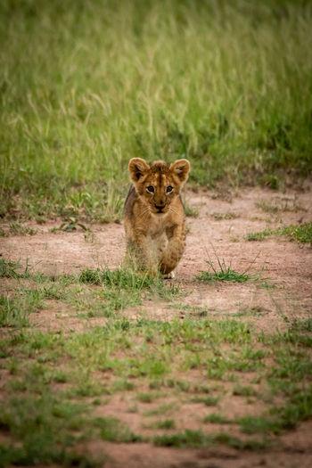 Portrait of lion cub walking on field