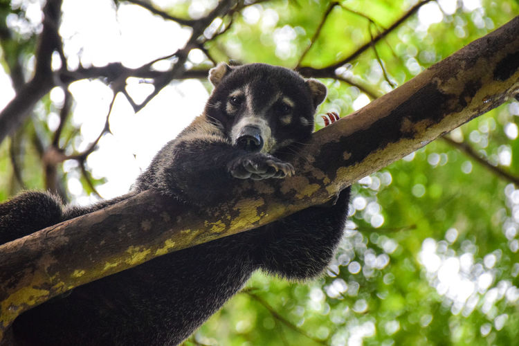 Portrait of coati resting on tree in forest