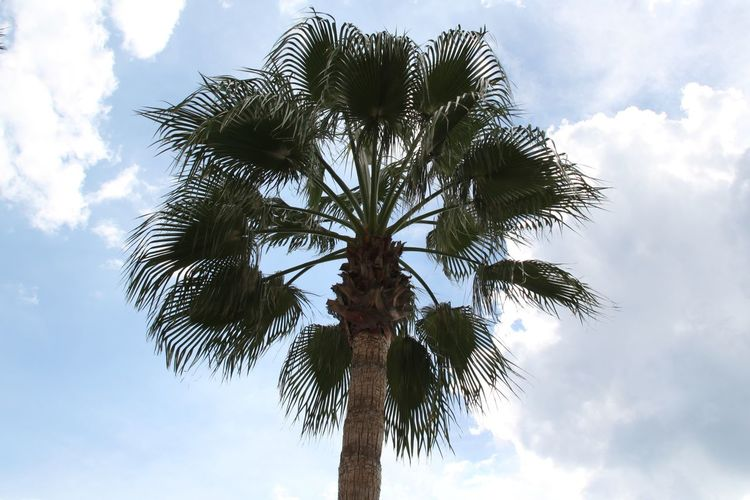 Palm Plant Low Angle View Sky Tree Cloud - Sky Growth Beauty In Nature