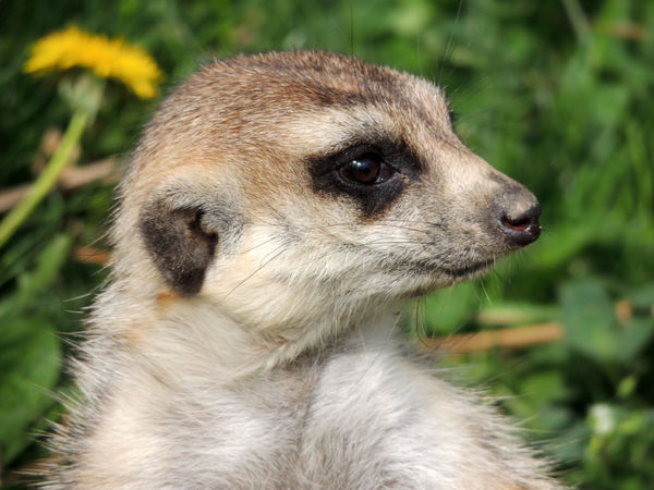 Surikata Zoo Safari