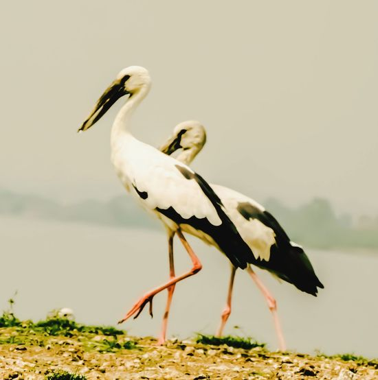 Pair of Open bills, The Asian openbill or Asian openbill stork is a large wading bird in the stork family Ciconiidae Birds_collection Bird Photography Birds🐦⛅ Nature Photography Birds Of EyeEm  EyeEm EyeEmNewHere EyeEm Best Shots EyeEm Nature Lover EyeEm Gallery Eyem Nature Birds Bird White Stork Full Length Stork Ibis Beak Sky Freshwater Bird Swimming Animal Foraging Young Bird Wetland Wading