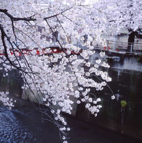 Sakura2016 Japan Hello World Minolta Autocord Color Reversal Film Enjoying Life Fujiprovia