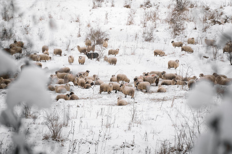 Flock of sheep on snow covered field