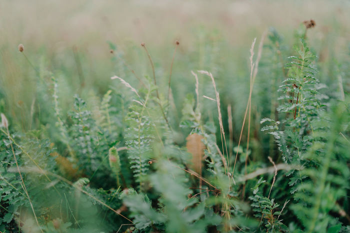 Grass Nature Agriculture Beauty In Nature Cereal Plant Close-up Crop  Day Field Focus On Foreground Freshness Green Color Growth Land Landscape Nature No People Outdoors Plant Rural Scene Selective Focus Tea Plant Tranquility