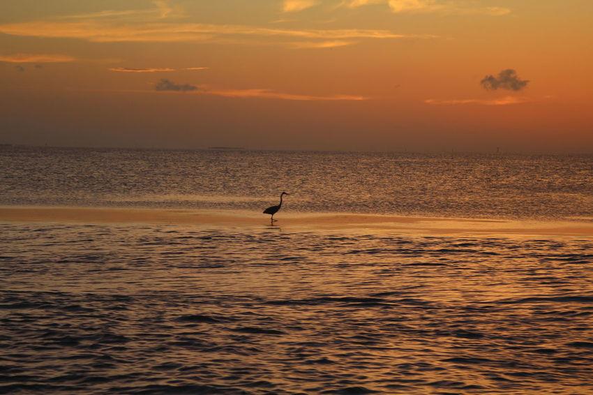 Bird on Sandbar in the sunset Beauty In Nature Nature Outdoors Scenics Silhouette Sky Sunset Water