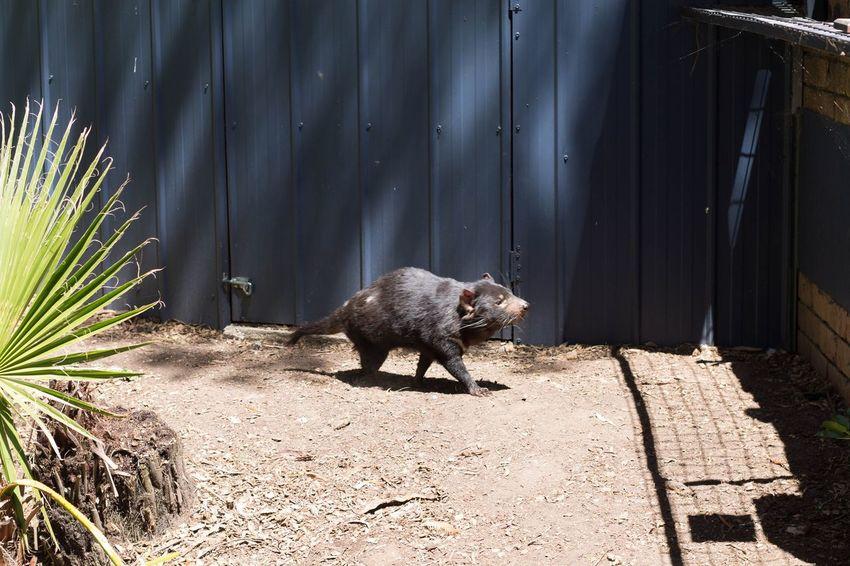 Tasmanian Devil One Animal Animal Themes No People Animal Wildlife Nature Outdoors Day Ballarat Wildlife Park Grass Wildlifephotography Wildlife Photography Ballarat  Australia Taking Photos Tasmaniandevil Tasmanian Devil