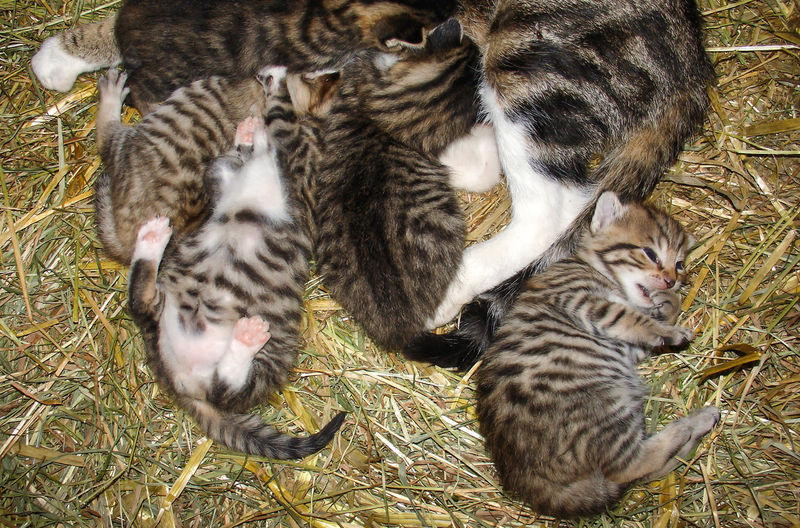 Animal Themes Baby Animals Cat Cats Cosy Curiosity Cute Cute Animals Day Enjoying Life Hay Kitten Look After Lovely Animals Mammal Meow Mother And Children Nature New Born No People Nosiness Playing Animals Protect Stable Stables