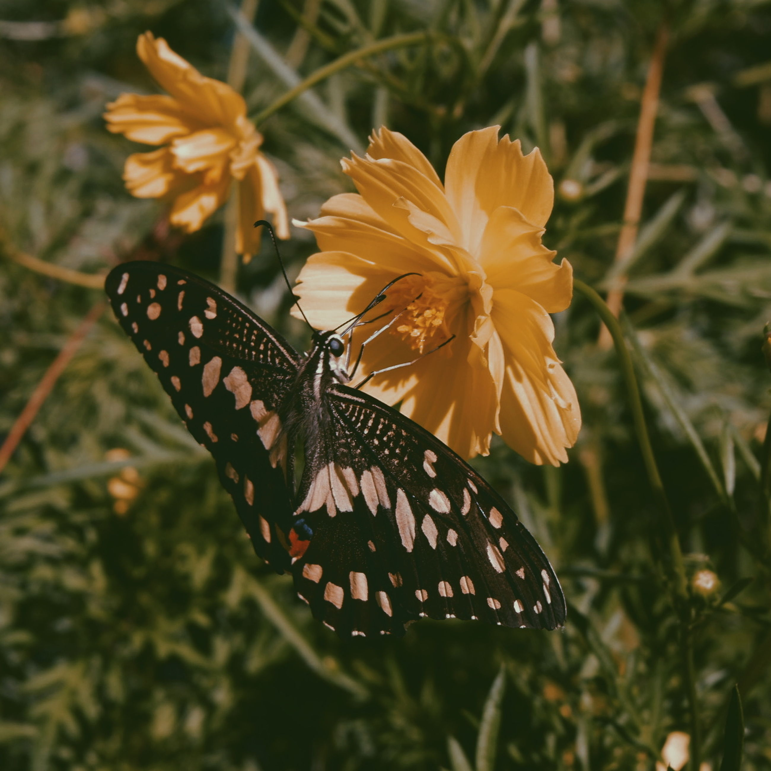 flower, flowering plant, invertebrate, beauty in nature, insect, animal themes, animal wildlife, one animal, butterfly - insect, animals in the wild, animal wing, plant, animal, flower head, fragility, petal, freshness, close-up, vulnerability, nature, pollination, no people, butterfly, pollen, outdoors