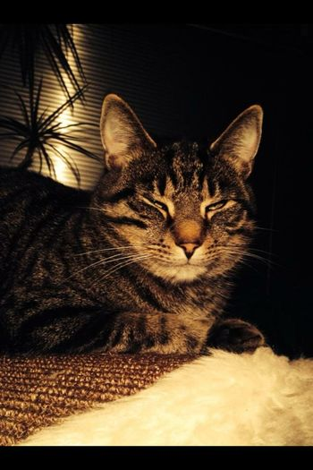 Ramses chill cat, vintage cat