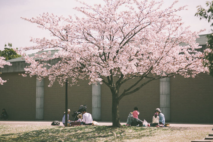 People Sitting Under Cherry Blossom Tree In Park