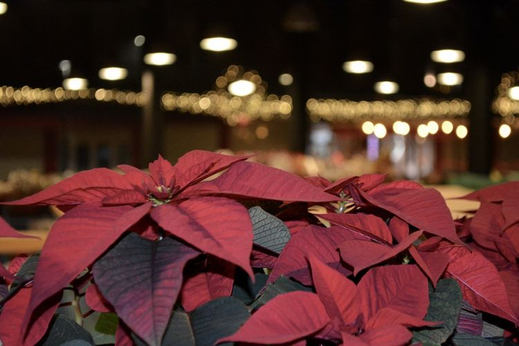 Poinsettia the Christmas Spirit Christmas Christmas Lights EyeEm Best Shots EyeEm Week Red Tirana Beauty In Nature Christmastime City Close-up Focus On Foreground Grand Bazaar Illuminated Night Nikonphotography Poinsettia Red Red Flower EyeEm Ready   EyeEm Ready   EyeEmNewHere Shades Of Winter