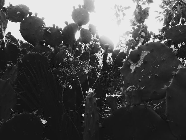 Nature Nature_collection Nature's Diversities Naturelovers Cactus Cactus Flower Cactuslover Cactus Flowers Lights Blackandwhite Black & White Contrast