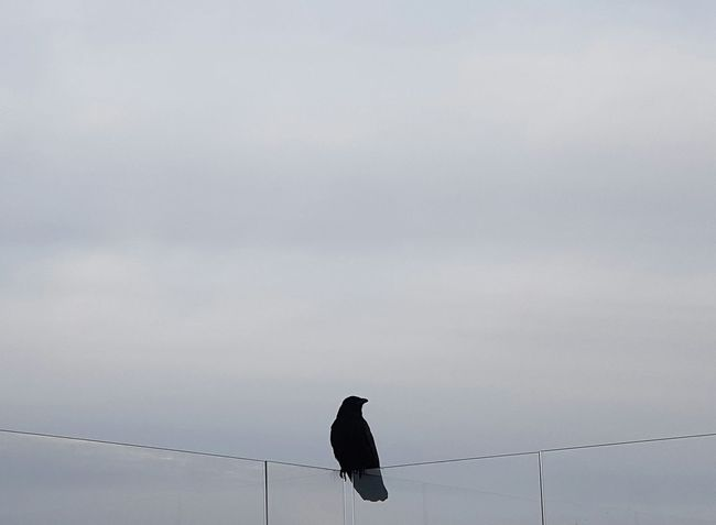 Bird Animal Themes Sky Early Bird Early Morning Roof Culture Observing Observer Black Crow Bird Photography Crows Cover Background Birds_collection Street Crowd City Crowd Black Bird Alone In The City  Alone Crow