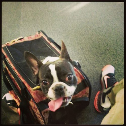 Hemingway's first jet ride...total definition of A.D.D. in this pic. Sensoryoverload Puppypower