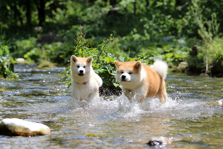 Portrait of dogs running in water