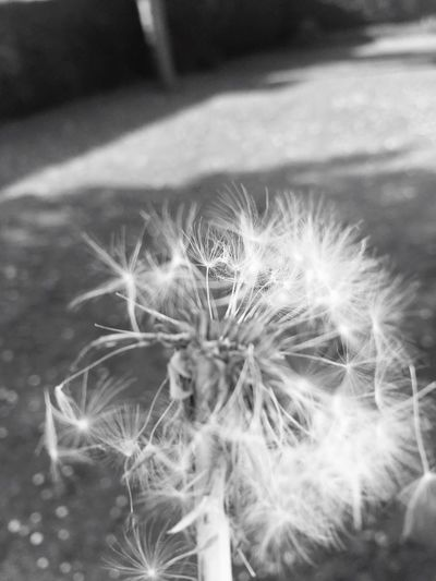 It comes and it goes Pusteblume