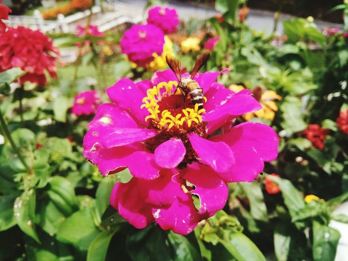 happy morning Bee Bees And Flowers Bees Outdoor Photography Nature Photography Naturelovers Peace And Quiet Nature Beauty Flower Head Pink Color Petal Close-up Blooming Plant In Bloom Blossom Cosmos Flower Botany Focus Passion Flower Plant Life