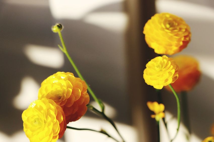 Flowers Flower Yellow Freshness Petal Fragility Beauty In Nature Flower Head Nature Growth Close-up Focus On Foreground No People Day Plant Blooming Outdoors Butterflower Paint The Town Yellow Paint The Town Yellow