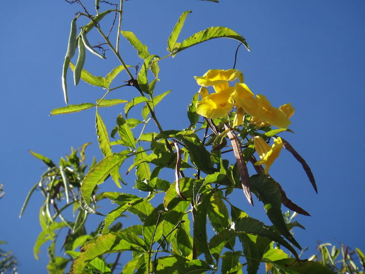Beauty In Nature Bignoniaceae Blue Clear Sky Day Fragility Freshness Ginger-thomas Green Color Growth Leaf Low Angle View Nature No People Outdoors Plant Sky Sunlight Tecoma Stans Trumpet Trumpet-shaped Flowers Trumpetbush Yellow Yellow Bell Yellow Elder